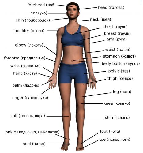 Англо-русский перевод терминов относящихся к фитнесу, названий частей тела, мышц и др.
