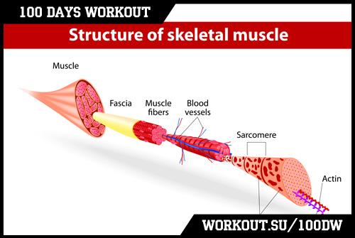 Day 69. Myofibrils & Mitochondria training specifics