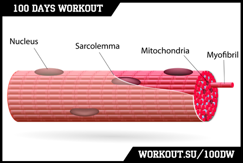 Day 69. Myofibrils & Mitochondria training specifics
