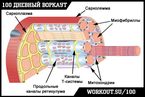День 72. Факторы роста мышечной ткани